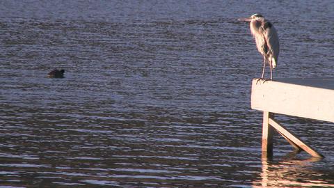 Great Blue Heron (Ardea herodias) on a dock at Lake... Stock Video Footage