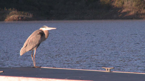 Great Blue Heron (Ardea herodias) flying at Lake Casitas... Stock Video Footage