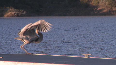 Great Blue Heron (Ardea herodias) flying at Lake Casitas Recreation Area in Oak View, California Footage