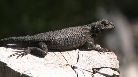 Western fence lizard jumping off a log in Ojai, California Footage