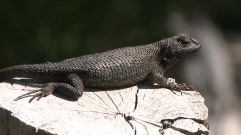Western fence lizard jumping off a log in Ojai, California Stock Video Footage