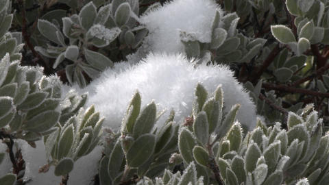 Zoom in on snow and frost on a manzanita tree in Los... Stock Video Footage