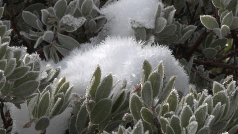 Zoom in on snow and frost on a manzanita tree in Los Padres National Forest above Ojai, California Footage