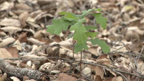 Valley Oak or Quercus lobata sapling emerging from oak... Stock Video Footage