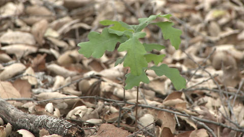 Valley Oak or Quercus lobata sapling emerging from oak mulch in Ojai, California Footage