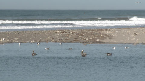 Brown pelican and seagulls in the Ventura River Estuary... Stock Video Footage