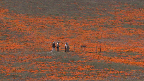Zoom out of hikers enjoying california poppies in bloom... Stock Video Footage