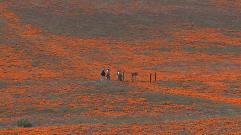 Zoom out of hikers enjoying california poppies in bloom in the Antelope Valley Poppy Preserve, Calif Footage