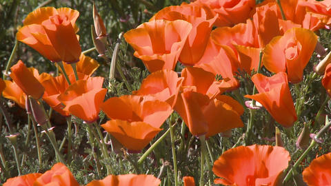 Close-up of california poppies in bloom blowing in the... Stock Video Footage