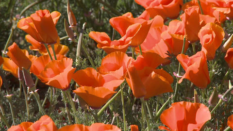 Close-up of california poppies in bloom blowing in the wind at the Antelope Valley Poppy Preserve, C Footage