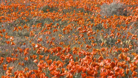 Zoom out of california poppies in bloom in the Antelope... Stock Video Footage