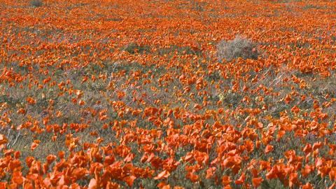 Zoom out of california poppies in bloom in the Antelope Valley Poppy Preserve, California Footage
