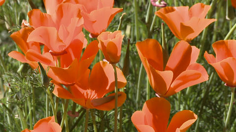 Zoom out of california poppies in bloom in Ojai, California Stock Video Footage