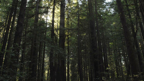 Time lapse of sun flares setting through Coastal Redwoods... Stock Video Footage