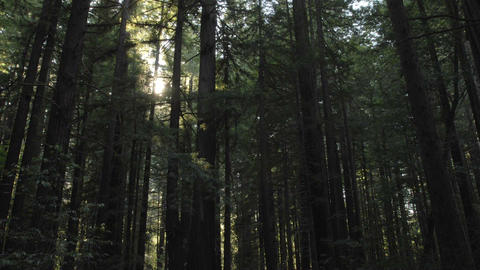 Time lapse of sun flares setting through Coastal Redwoods in Redwoods State Park, Humbolt, Californi Footage