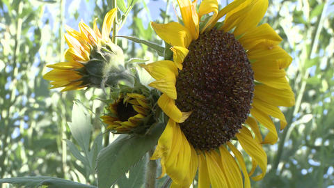Time lapse of sunrise on a sunflower in Oak View, California Stock Video Footage