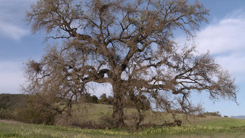 Zoom out on large Valley Oak during the spring in Ojai,... Stock Video Footage