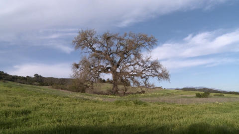 Zoom out on large Valley Oak during the spring in Ojai, California Footage