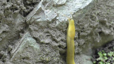Time lapse of a Pacific banana slug (Ariolimax... Stock Video Footage