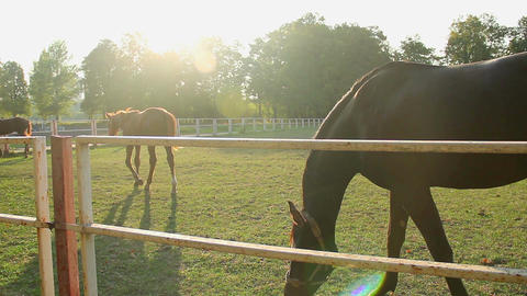 Nice colt and yearling horses grazing on sunlit eco pasture at the stud farm Footage