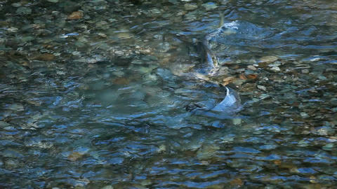 Salmon spawn in river P HD 0242 Footage