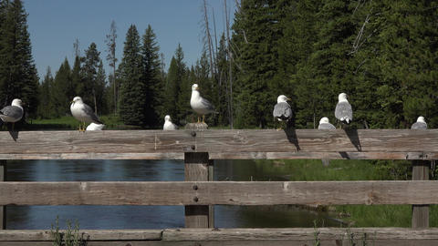 Seagulls sitting on bridge rail forest Big Springs Idaho 4K Live Action