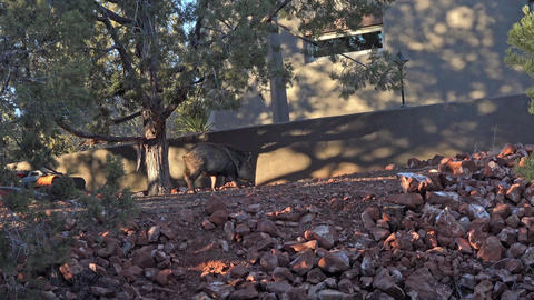 Sedona Arizona Javelina Peccary pig in home yard 4K 021 Footage