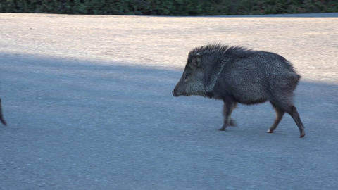 Sedona Arizona Peccary Javelina pig cross road 4K 023 Footage