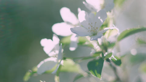 Close-up view of tender white blooming flowers on tree branch GIF