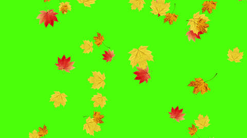 Autumn leaves falling on green screen, chroma key editable background Live Action