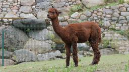 An alpaca. Vicugna pacos Live Action