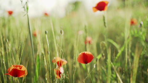 Spring flowers. Close-up of blooming red poppies. Beautiful flowers on a Live Action