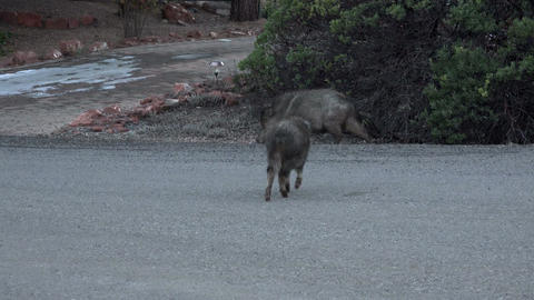 Sedona Arizona pig Javelina Peccary cross neighborhood road 4K 027 Footage