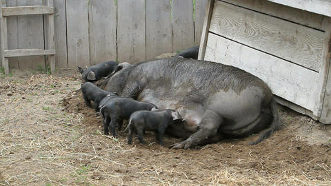 Sow feeding baby pigs P HD 1089 Live Action