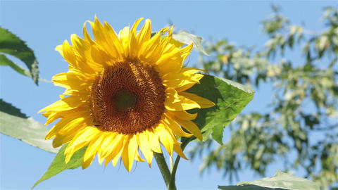 Sunflower in gentle breeze P HD 2540 Footage