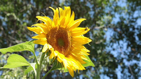 Sunflower beautiful yellow in breeze P HD 2544 Footage