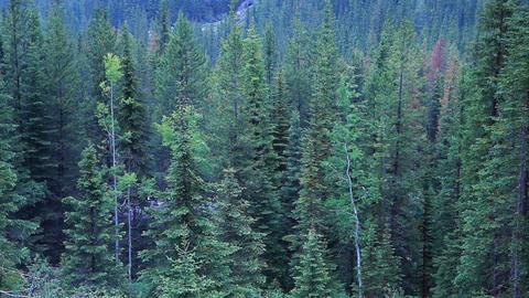 Train through pine forest P HD 7393 Footage