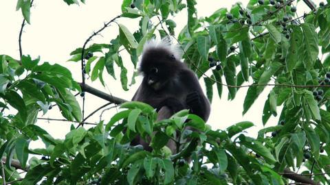Dusky Leaf Monkey Live Action