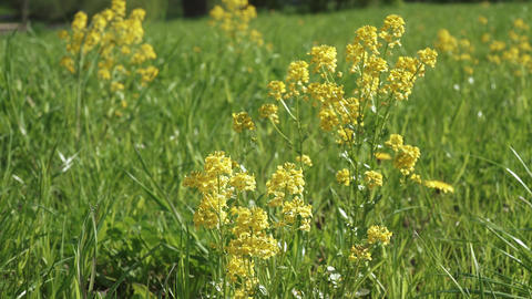 Flowers of colza ordinary ライブ動画