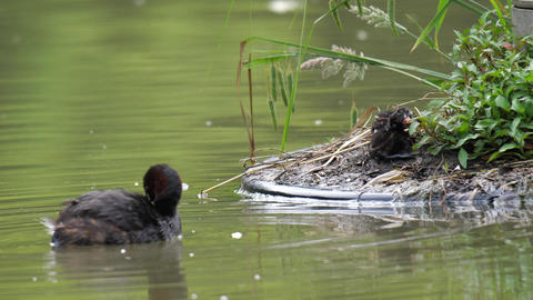 A parent bird of dabchick or little grebe returns to the nest where two baby birds waiting in the Live Action