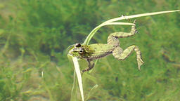 Frog in water paddle a bit along Live Action