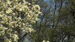 Washington DC National Cathedral Magnolia tree blossom 4K 025 Footage