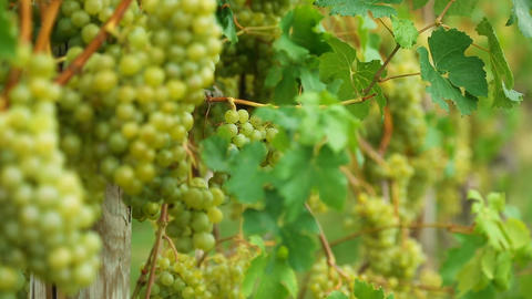 White grapes Footage