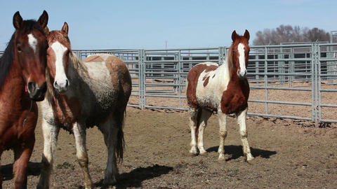 Wild Mustang horses in corral P HD 8877 Footage