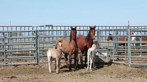 Wild Mustang horses mare colts P HD 8859 Footage