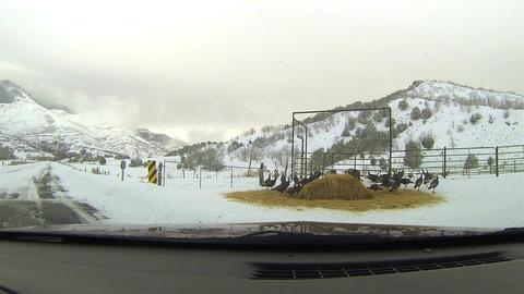 Wild Turkey feeding winter snow mountain HD 0112 Footage