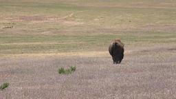 Wildlife American Bison buffalo walks in praire meadow 4K Footage
