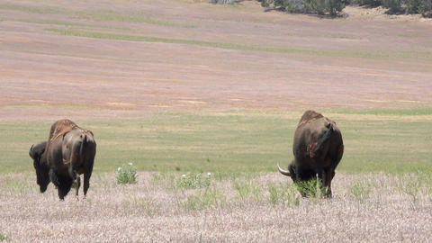 Wildlife American buffalo Bison on prairie meadow 4K Footage