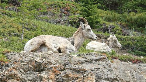 Wildlife Ewe Mountain sheep P HD 1266 Footage