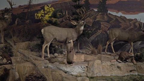 Wildlife Mule Deer mountain scene 4K Footage